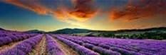 Logo Banner Lavendel Sonnenuntergang